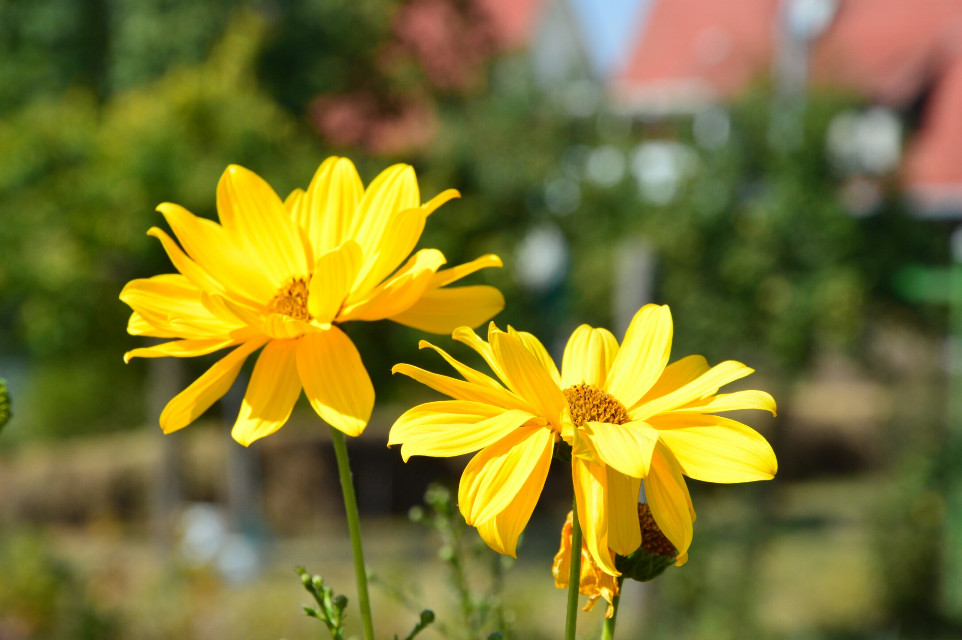 #flower  #yellow  #nature