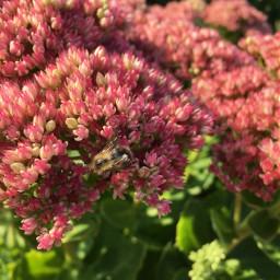 blumen flowers fettehenne biene wundersch