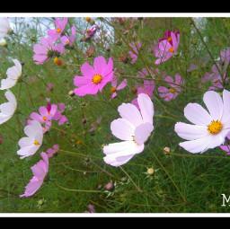 flowers murr picsart russia september21