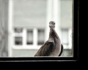 blackandwhite photography nature dove