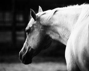 horse blackandwhite pets nature