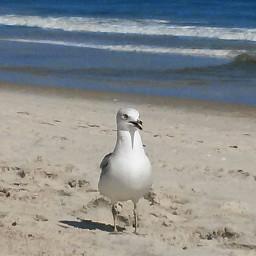 freetoedit seagull jerseyshore seasidenj