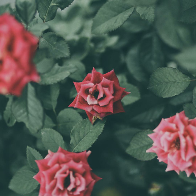Roses  Garden   #colorful #nature #flower #love  #FreeToEdit