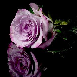 wonderful roses myaddiction mypassion nicepicture