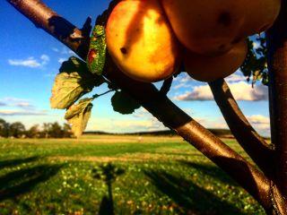 apple nature tree field autumn