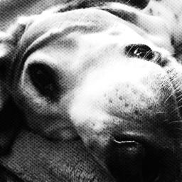 tiredpuppy sniffandbarkens snapwagdogs doggiedreamin doggiezzzz loveslife seniordogsrock ilovemybassethounds blackandwhitephotography bassethoundsarebest bassethoundmoments