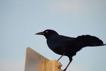 blackbird bird nature naturephotography beach