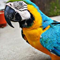 parrot bird colorful portrait animals freetoedit