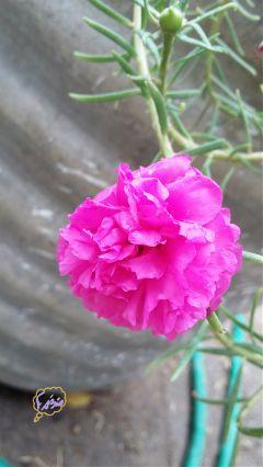 freetoedit flower photography pink nature