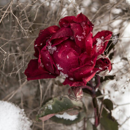 freetoedit red rose white nature