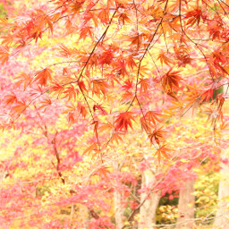 japan nature autumn red leaf