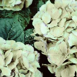 hydrangeas nature plant flowers flowerslovers