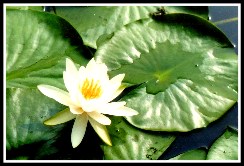 Water Lily  #flower