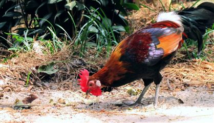 rooster colorful birds birdphotography nature freetoedit